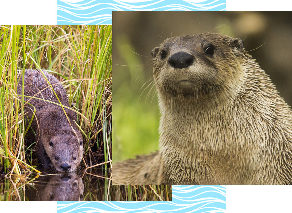 Rookery Bay Wildlife: River Otters | National Estuarine Research Reserve