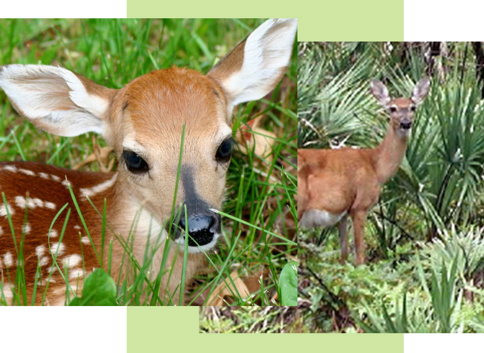 Mammals at Rookery Bay: White Tailed Deer | National Estuarine Research Reserve