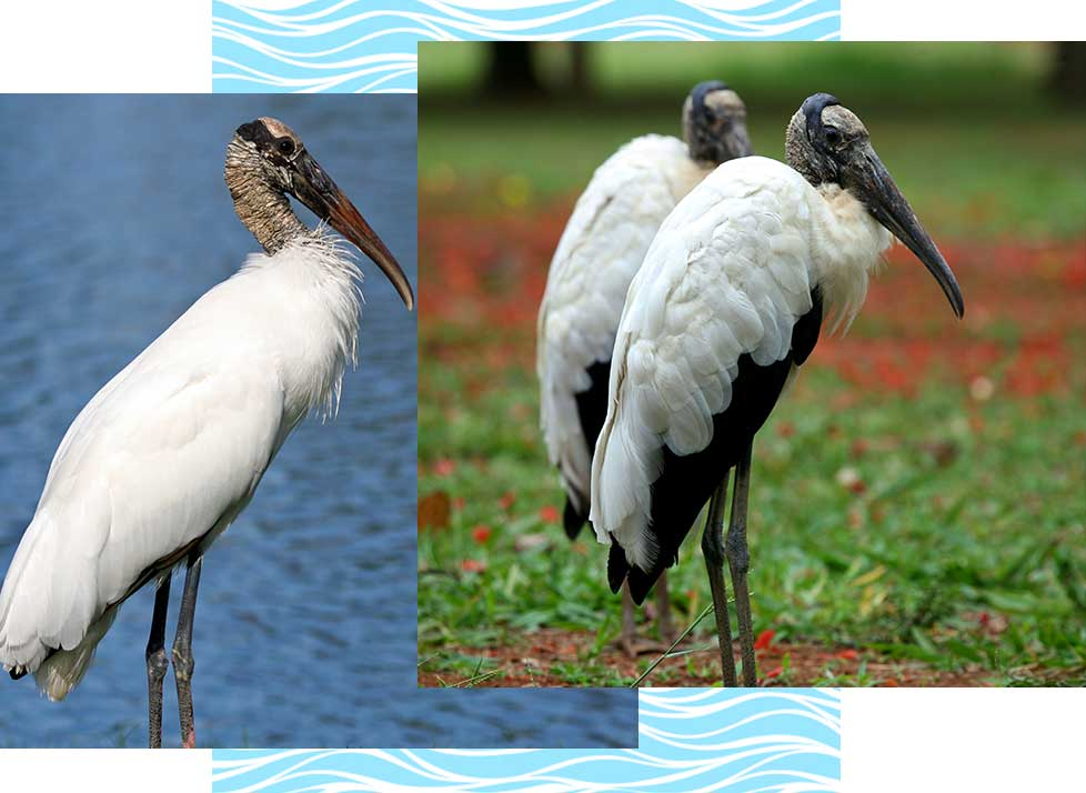 Woodstorks at Rookery Bay Research Reserve | National Estuarine Research Reserve
