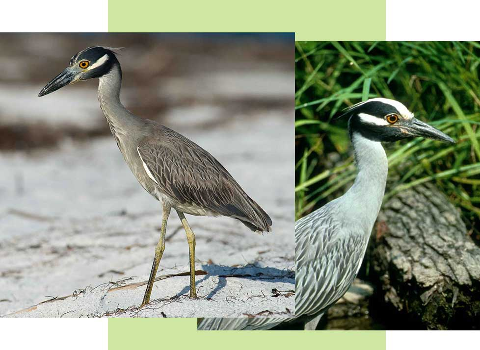 Yelllow Crowned Night Herons at Rookery Bay Research Reserve | National Estuarine Research Reserve