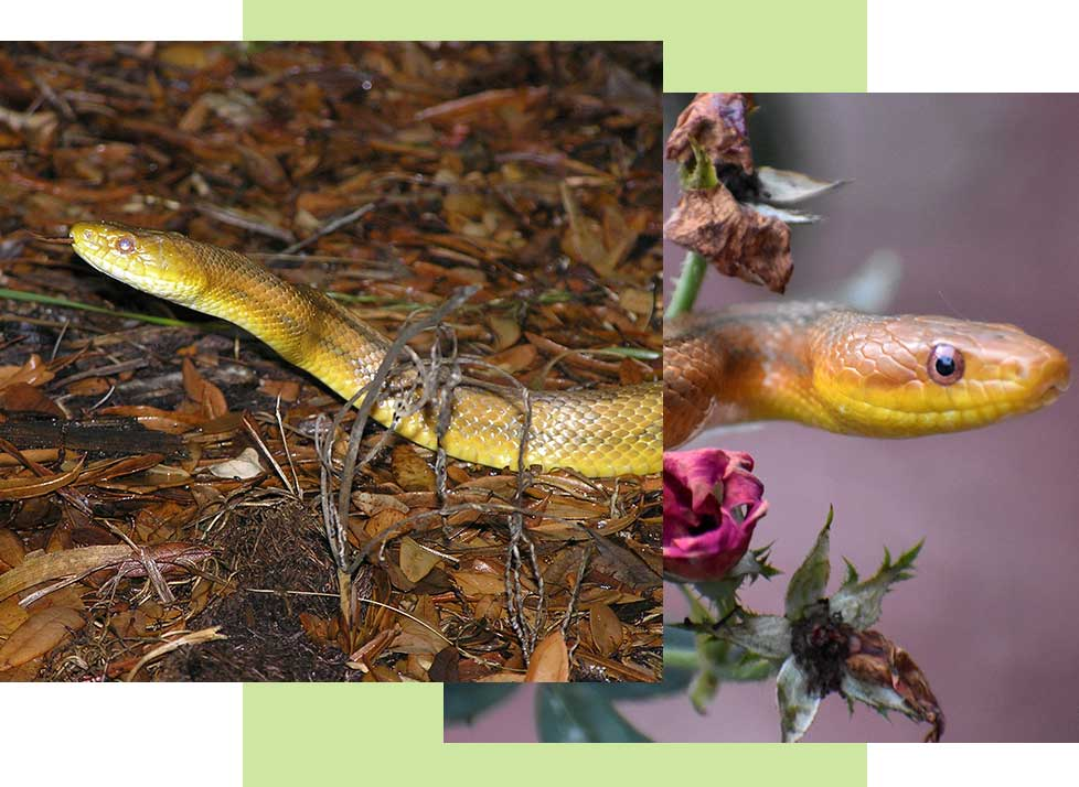 Yellow Rat Snakes at Rookery Bay Research Reserve | National Estuarine Research Reserve