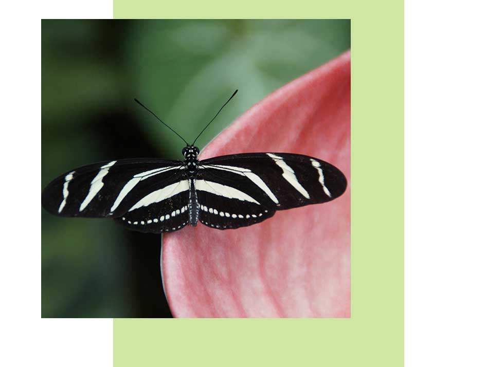 Zebra Longwing Wildlife in Naples | Rookery Bay Research Reserve